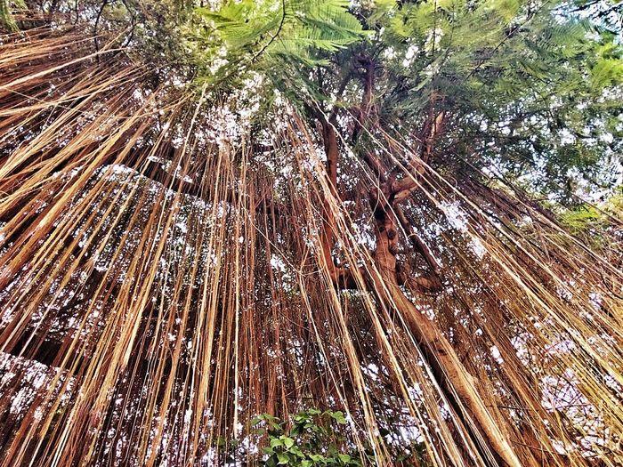 Root Of Banyan Tree Banyan Root Root Roots Roots Of Tree Root Of A Tree Root Of The Tree Low Angle View Tree View Tree Nature Tree