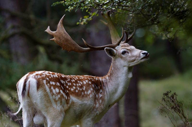 Side View Of Deer