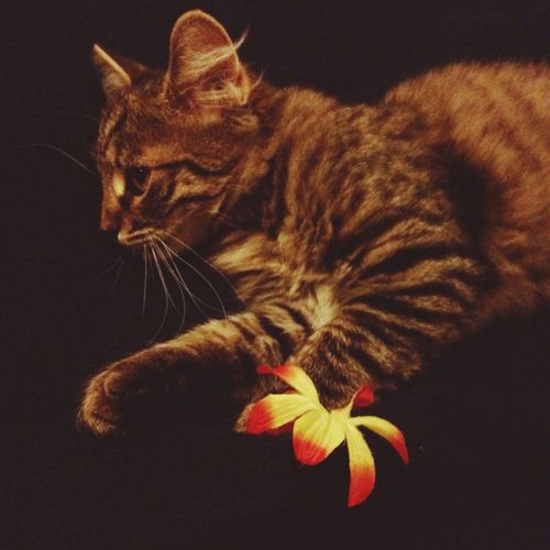 I Love My Cat ❤ Ettore Playing on Bed with Flowers of a Hawaiian Garland . Fakeflowers Dark Klinamen Cat