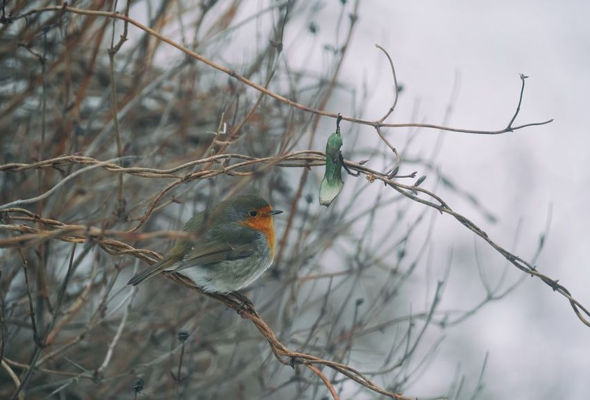 Robin Robin Rödhake Bird Fågel XF100-400 Xf100400 Fujifilm Sverige Kungshamn Taking Photos Nature Swedish Nature EyeEm Nature Lover Eyeem Sweden Outdoors Xshooter Fujilove Enjoying Life FUJIFILM X-T2 Eyeem Photography EyeEm Gallery Red Robin Winter Vinter Beauty In Nature