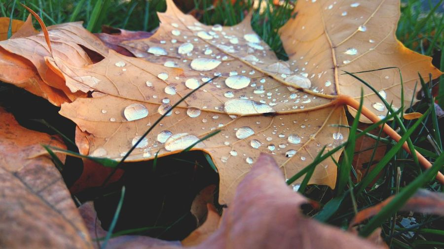 Close-up of wet maple leaves in rain