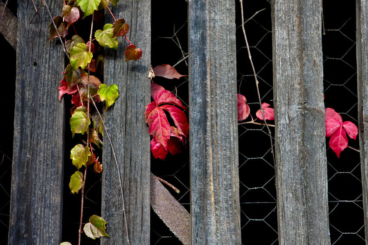 Close-up of red flowering plants by fence