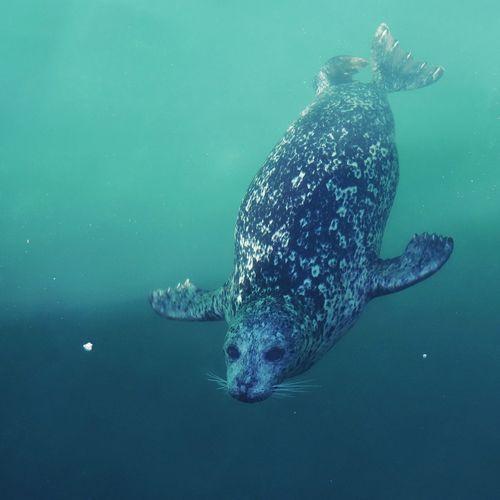 Seal Sealife Swimming