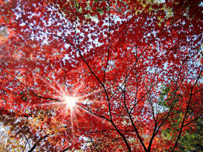 Colorful autumn red maple leaves with sun beam Autumn Beauty In Nature Branch Change Day Growth Maple Leaf Nature Outdoors Plant Red Scenics - Nature Sky Streaming Sunbeam Sunlight Tranquil Scene Tranquility Tree
