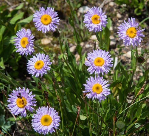 Jul 2018 - Colorado Alpine region - Tansy Aster Flower Machaeranthera coloradoensis Alpine Flower Beauty In Nature Botany Close-up Day Flower Flower Head Flowering Plant Focus On Foreground Fragility Freshness Growth Nature No People Outdoors Petal Plant Pollen Purple Springtime Vulnerability