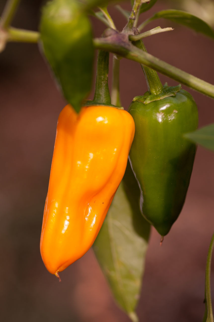 CLOSE-UP OF YELLOW BELL PEPPERS AND PLANT