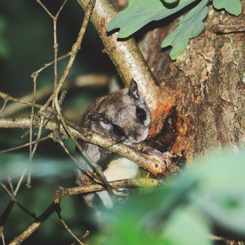 Flying squirrel The Adventure Handbook Nature Nikon Nature_collection EyeEm Nature Lover Getting In Touch