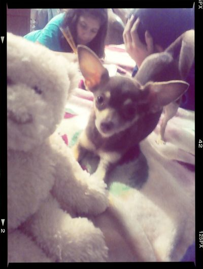 Dog I Love You ! Perfect Chihuahua Gigi :D