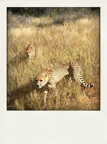 Game Drive Cheetah Animals Quality Time Nambw2014
