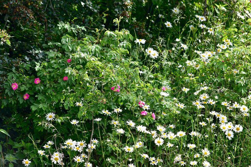 Taking Photos Wildflowers Dogrose Daisies Sunny Day Nikon D5500