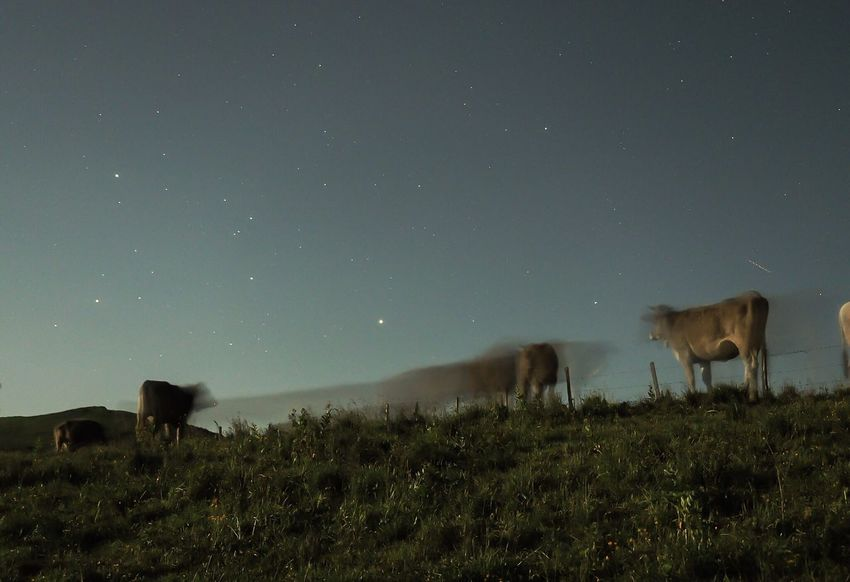 Night moo-ves Cows Grazing Cows In A Field Cows Night Moves Moo Nightphotography Longexposure Swiss Alps Alpine Pasture Cows And Stars Palfries Sarganserland Swiss Mountains Switzerland Moonlight Gonzen Herd Of Cows Olympus OM-D EM-1 Breathing Space
