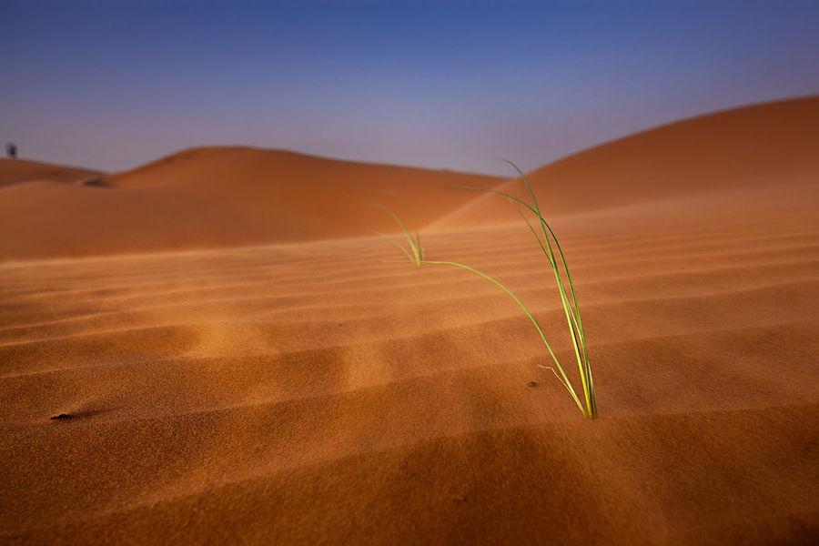 Desert Sand Dune Nature Outdoors Sand Landscape Arid Climate Close-up Oman Oman Desert Wahiba Sands Wind In The Desert Lone Survivor Alone Grass In The Desert