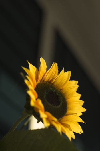 Daisy Daisy Flower Beauty In Nature Blooming Close-up Day Daylight Flower Flower Head Flowers Fragility Freshness Growth Nature No People Outdoors Petal Photo Photographer Photography Plant Selective Focus Sun Sunflower Yellow EyeEmNewHere