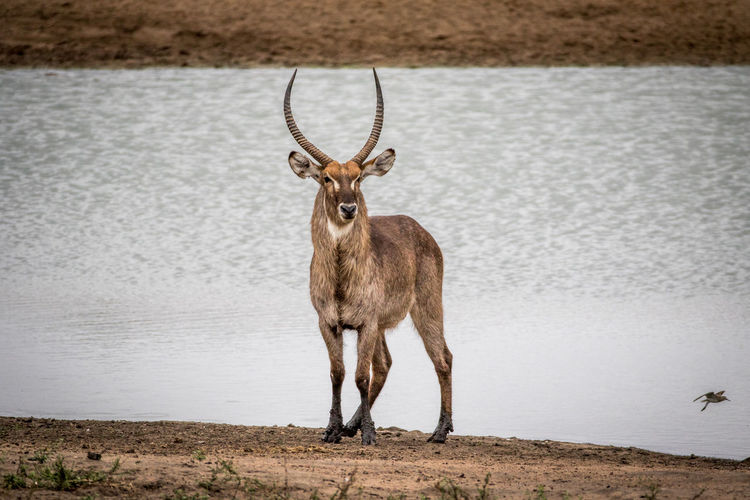 Waterbuck standing by the water in the Kruger National Park, South Africa. Nature Animal Animals In The Wild Wildlife Wildlife & Nature Nature Photography Africa African Safari Safari Animals Safari Beauty In Nature Travel Beautiful Nature Wildlife Photography Animals Animal Themes African Waterbuck Mammal Kruger Park Animal Wildlife Antelope Kobus Ellipsiprymnus Deer Horned