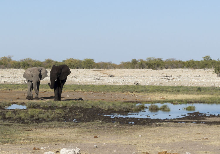 African Elephant Animal Themes Animal Wildlife Animals In The Wild Beauty In Nature Clear Sky Day Elephant Etosha Etosha National Park Field Full Length Grass Landscape Mammal Nature No People Outdoors Safari Animals Sky Standing Tree Tusk Two Elephants Water