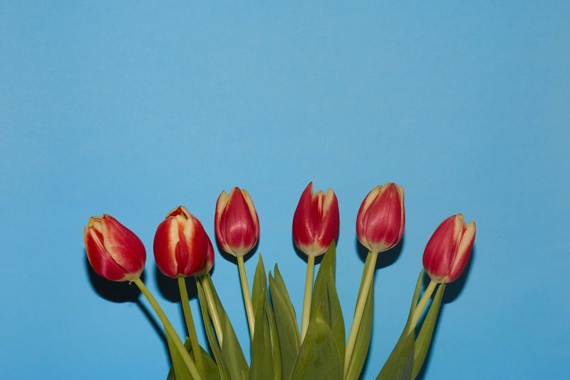 Close-up of red tulips against blue sky