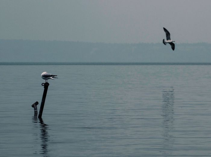 Hungary Lakeview Animal Themes Animal Wildlife Animals In The Wild Balaton Beauty In Nature Bird Flying Horizon Over Water Lake Lake View Nature Nature_collection Naturelovers No People Reflection_collection Reflections In The Water Scenics Seagull Spread Wings Water Waterfront