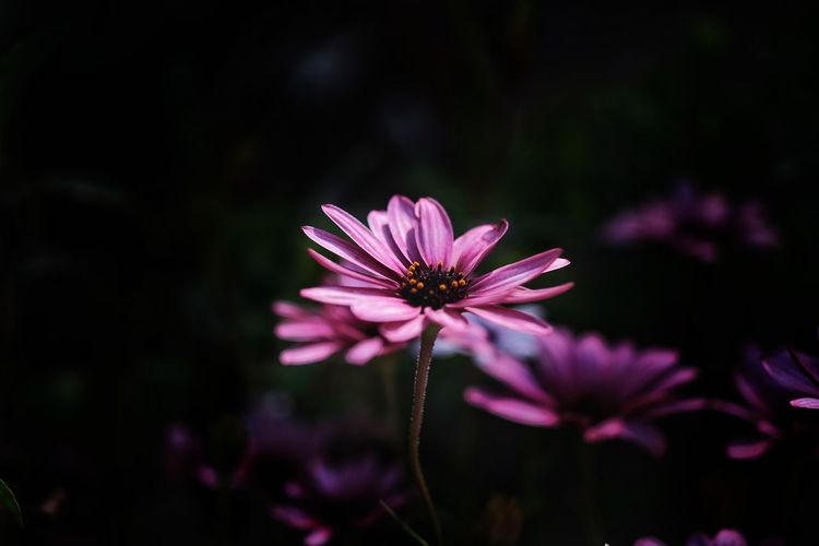 Getty Images Gettyimages Black Flower Head Eastern Purple Coneflower Flower Pink Color Petal Purple Coneflower Close-up Plant Magenta Plant Life