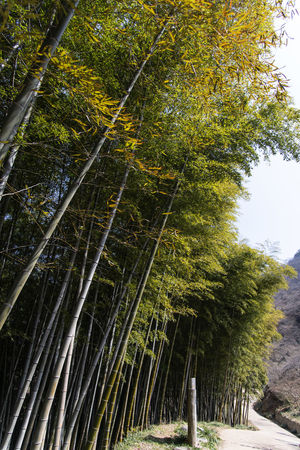 bamboo forest at Gwangyang Cheongmaesil Maeul in Jeonnam, South Korea Bamboo Gwangyang Plant Tree Nature Day Growth Outdoors Beauty In Nature No People Forest Land Tranquility Green Color Scenics - Nature Branch Tranquil Scene Bamboo - Plant Non-urban Scene Tree Trunk Sky Bamboo Grove