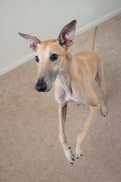 Dog Dog Ears Dog Tricks Doggy Domestic Animals Excited Greyhound Pets Retired Greyhound Stand Up Dog Standing Dog Tricks Wagging Tail