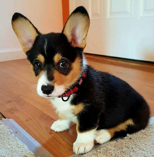 My daughters new family member, a Welsh Corgi named Norbert Cute Puppy <3<3 Grandpuppy