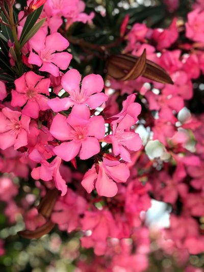 Blossom Pink Color Pink Plant Flower Flowering Plant Growth Pink Color Freshness Beauty In Nature Vulnerability  Fragility Blossom Springtime Day Nature