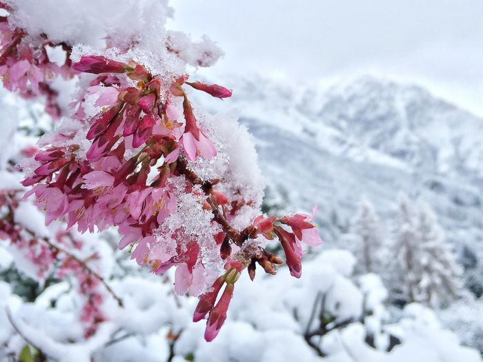 Close-Up Of Snow On Pink Flowers