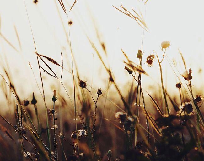 Wild Grass Nature