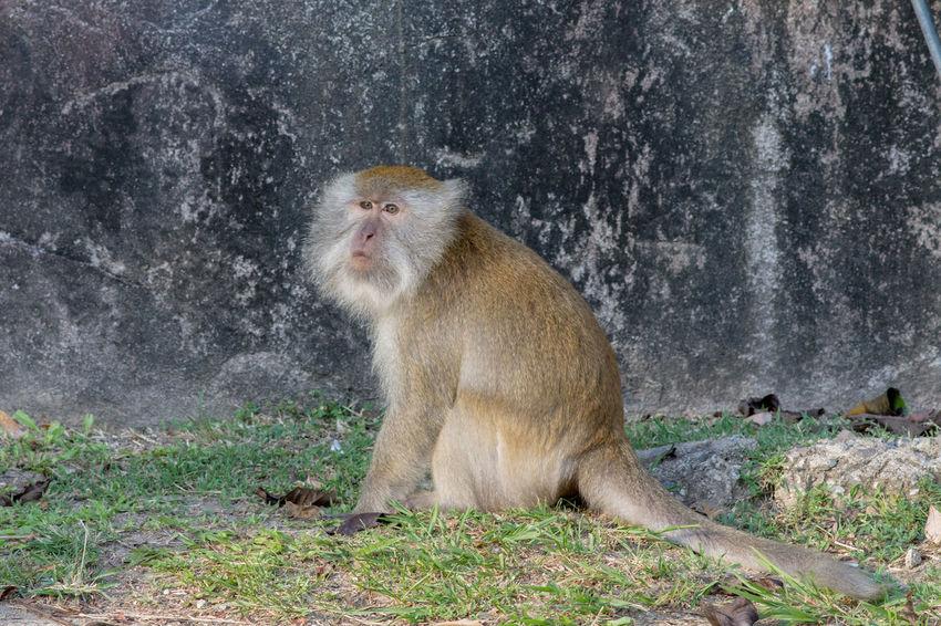 Affe, Animal Themes Animals In The Wild Malaysia Mammal Monkey Nature No People Tioman Natur