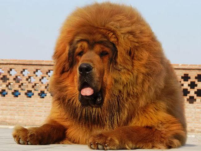 tibetan mastiff one of the very expensive doogs Tibetan Mastiff Animals DOOG!