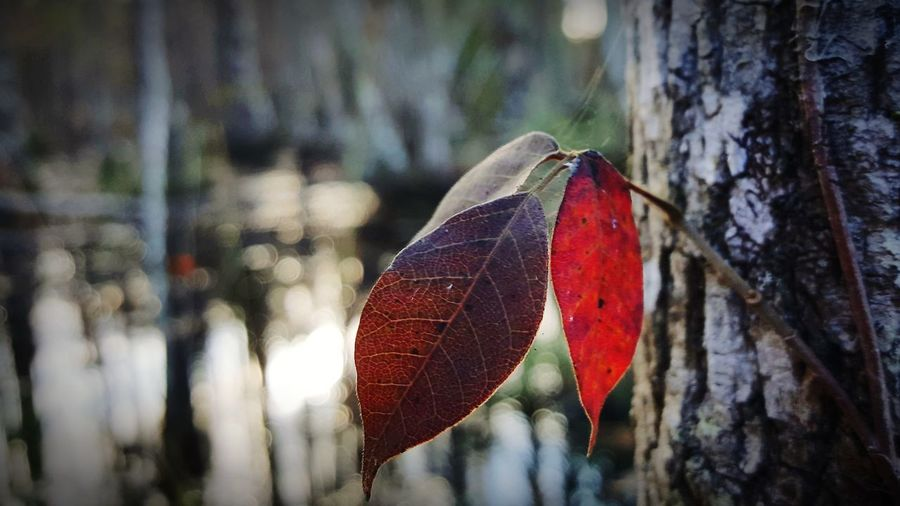 Fall colors Beauty In Nature Out Doors Woodscapes Fall Beauty Fall Colors Forest Photography Tree Trunk Swamp Out Of Focus Nature Photography Nature_collection Wetlands Leaf Red Butterfly - Insect Insect Tree Trunk Close-up Animal Themes