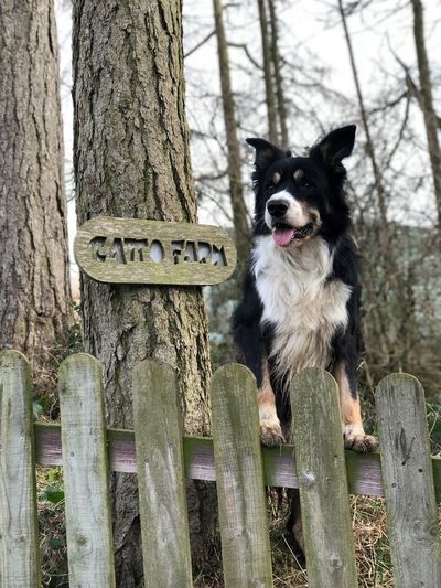 🏡❤️🐶 Family Farm Farm Tree Trunk Dog Pets Wood - Material Animal Border Collie Tree One Animal Outdoors Domestic Animals Mammal No People Portrait Animal Themes Day Nature