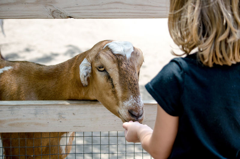 a little girl feeds a friendly goat at a local petting zoo Goat Kids Animal Themes Blond Hair Childhood Close-up Domestic Animals Feeding Goats Girl Human Hand Indoors  Leisure Activity Livestock Mammal Nature One Animal People Petting Zoo Real People