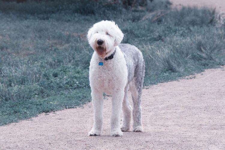 Are you coming? Old English Sheepdogs One Animal Animal Themes Dog Canine Pets Mammal Animal Domestic Animals Domestic Vertebrate Day Full Length Portrait Looking At Camera No People Focus On Foreground Standing Nature Land
