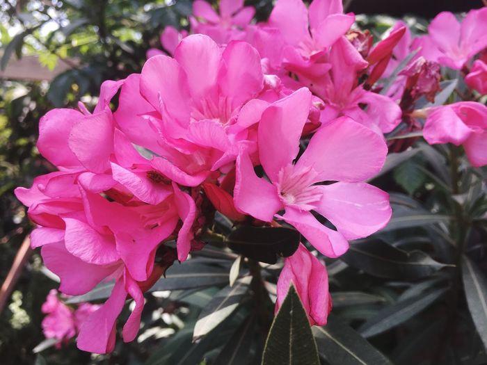 oleander flower Oleander Flower Flower Flowering Plant Pink Color Petal Plant Fragility Vulnerability