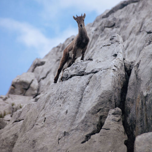 Low angle view of chamois on rock
