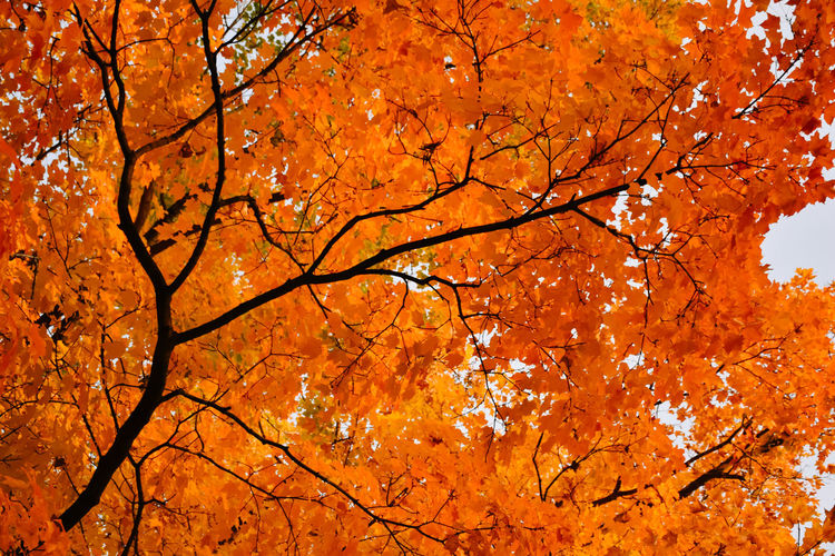 Low angle view of maple tree in forest during autumn