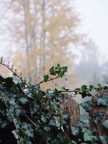 Foggy Tree Green Ivy Leaves Fence Yellow Leaves In My Backyard Focus On Foreground Outdoors Pacific Northwest