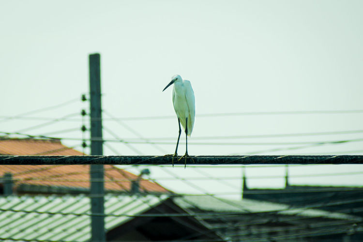 Animal Themes Animal Wildlife Animals In The Wild Bird Day Egret Film Tone Low Angle View Nature No People One Animal Outdoors Perching Single Single Bird Sky Telecom Line Wire