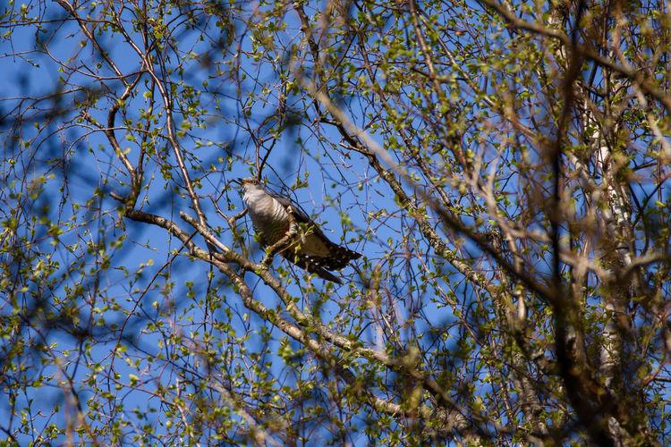 Common cuckoo (Cuculus canorus) bird on tree. Cuckoo Bird Cuculus Canorus Animal Animal Themes Animal Wildlife Animals In The Wild Beauty In Nature Bird Cuckoo Nature One Animal Tree