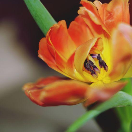 EyeEm Nature Lover Tulips Spring EyeEm Best Shots - Flowers