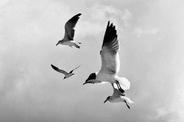 Low angle view of seagulls flying