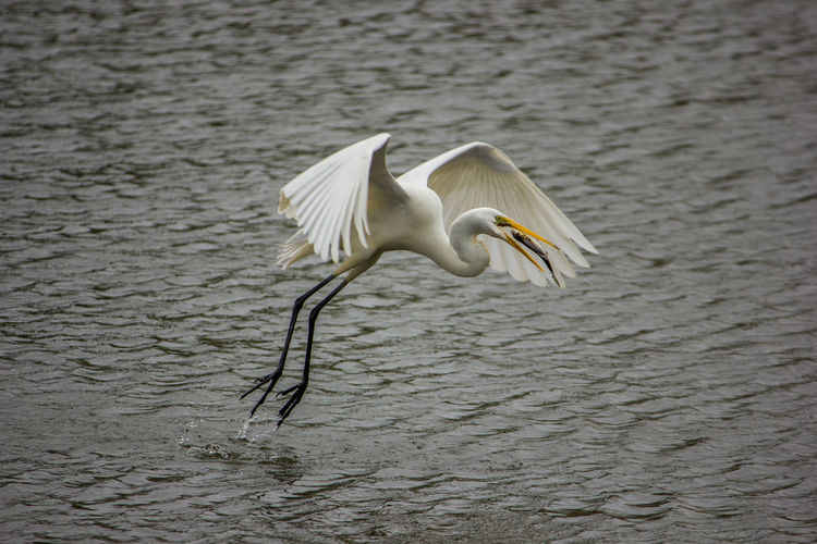 Animals In The Wild Animal Wildlife Vertebrate Bird One Animal Water Nature Day Flying Spread Wings Egret White Egret Water Bird Wildlife Wildbird Flying Bird Bird In Flight Bird Catching Fish Great Egret Waterfront White Color Outdoors Lake Bird In Mouth