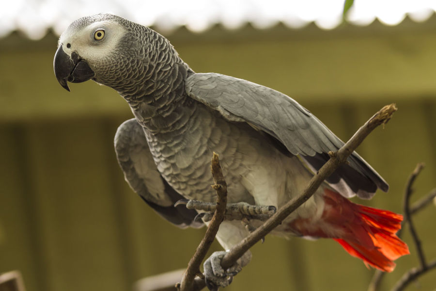 Nature Wildlife Face Wild Animal Feather  Close-up Animal Portrait Portrait African Grey Parrot Grey Parrot Bird Animal Themes Animal Face Exotic Birds Bird Photography Exotic Animal Photography No People