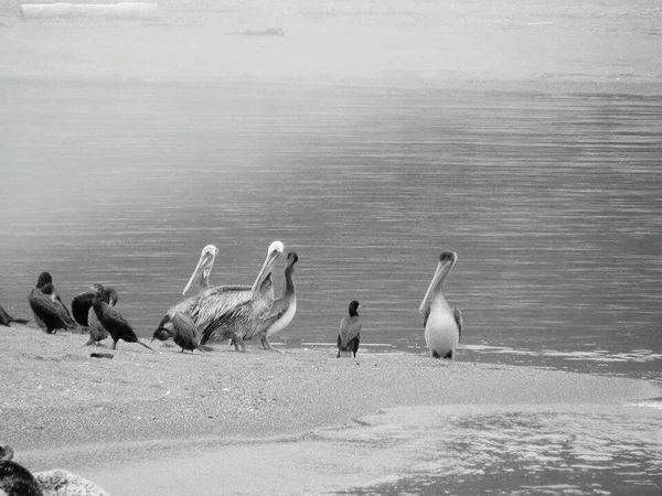 Bird Animals In The Wild Animal Wildlife Animal Themes Water Outdoors Nature No People Day EyeEm Selects Sommergefühle Pelicans Sea Life Beach Photography Mouth Of The River