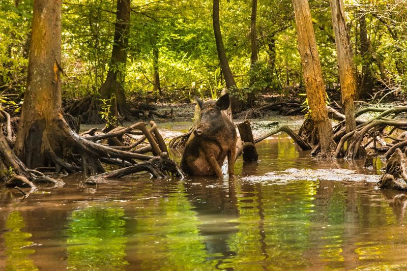 Pig playing in the Mississippi Animals In The Wild Nature Animal Wildlife Water Tree Outdoors Pig Tree Mississippi  The Week On EyeEm