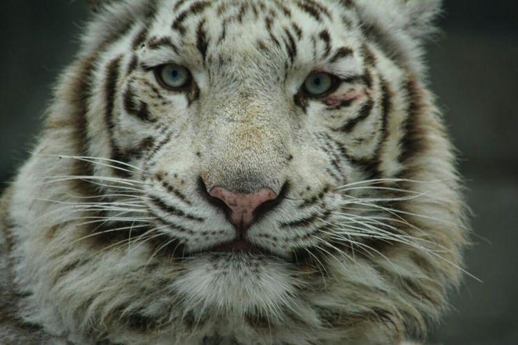 東武動物公園 Whitetiger Cute Animals Animal Zoo Animals