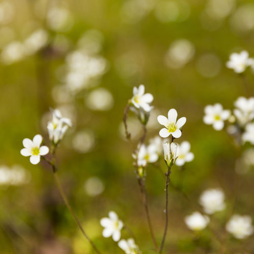 Meadow Saxifrage (Saxifraga granulata), on green roof garden, England, United Kingdom Beauty In Nature Blooming Close-up Day Flower Flower Head Fragility Freshness Growth Nature No People Outdoors Plant