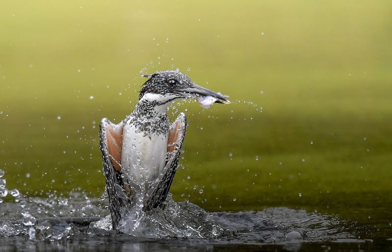 Close-up of crested kingfisher fishing in lake