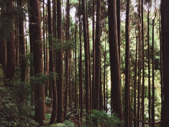 Forest Tree Nature Tree Trunk Bamboo Grove Beauty In Nature Bamboo - Plant WoodLand No People Pine Tree Tree Area Outdoors